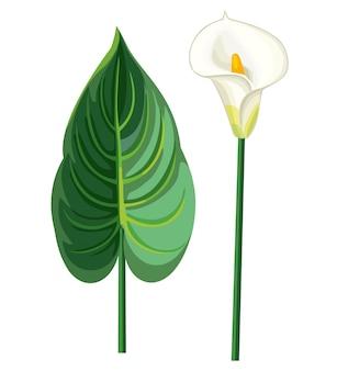 Calla folha e flor. ilustração.