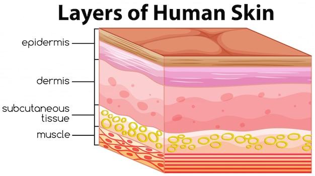 Camadas de conceito de pele humana