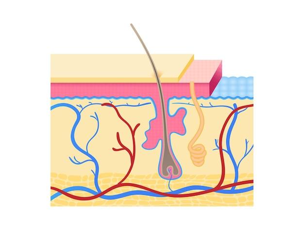 Camadas de pele humana