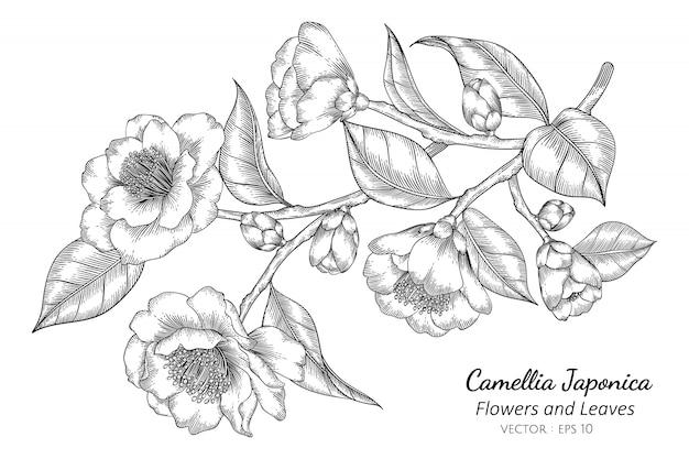 Camellia japonica flor e folha desenho ilustração
