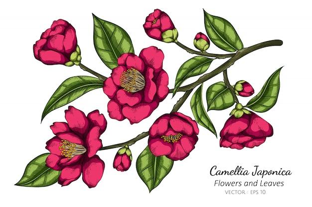 Camellia japonica rosa flor e folha desenho ilustração