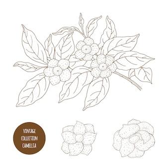 Camellia sinensis flores e galho. perfumaria, cosmética e planta médica. vintage mão ilustrações desenhadas.