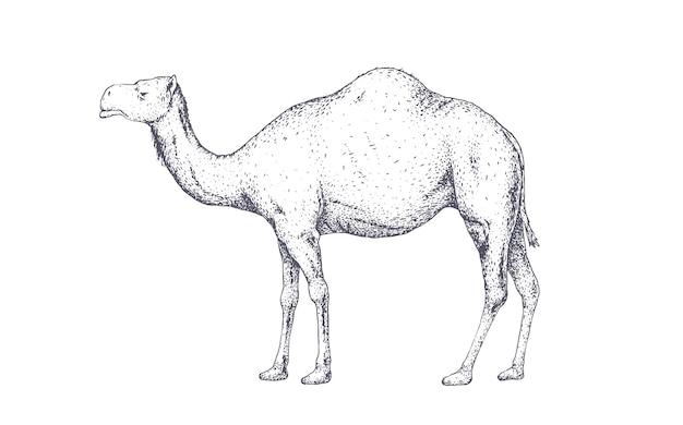 Camelo, dromedário. impressão retro vintage, desenho de camelo branco preto, gravura ao estilo da velha escola