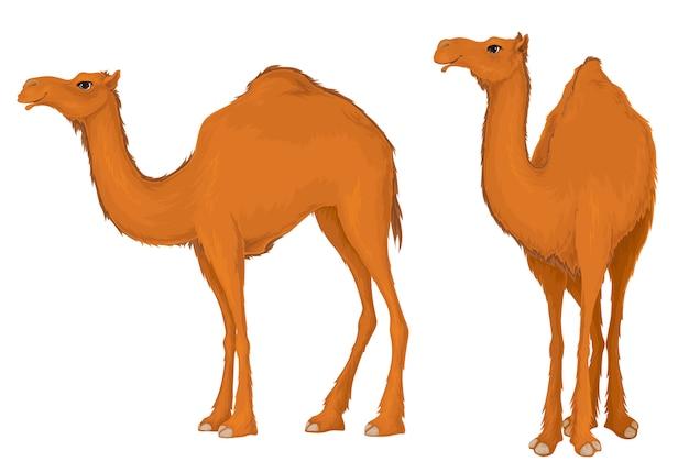Camelo. ilustração do dromedário isolada no branco