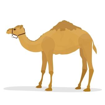 Camelo isolado no fundo branco.