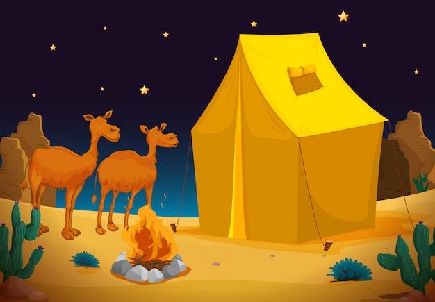 Camelos e tenda