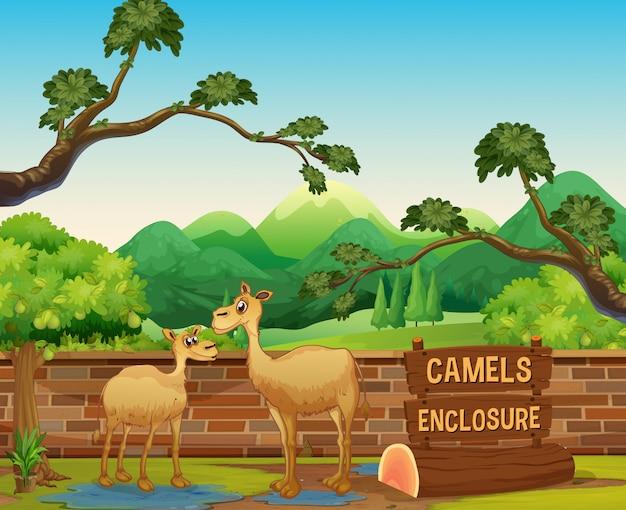 Camelos felizes no zoológico aberto