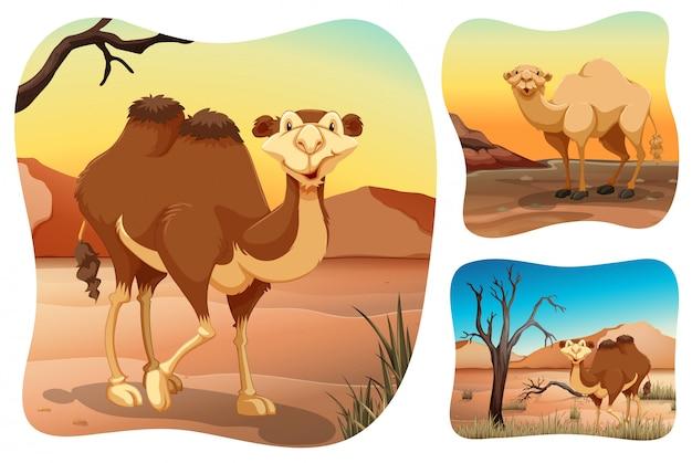 Camelos no deserto seco