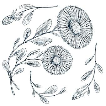 Camomila medicinal ou roda de margarida com folhas e brotos.