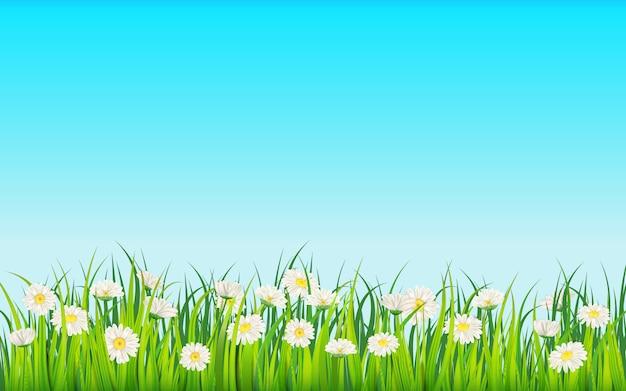 Campo de primavera de flores de margaridas, camomila e verde grama suculenta