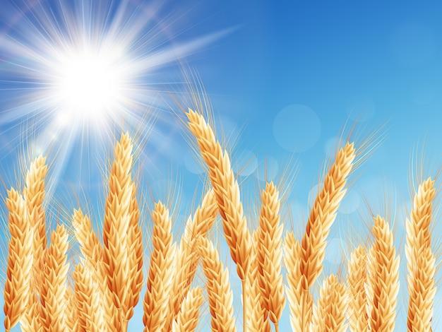 Campo de trigo dourado e céu azul.