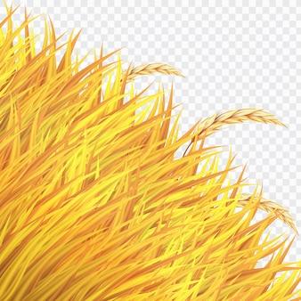 Campo de trigo dourado ou arroz no fundo isolado