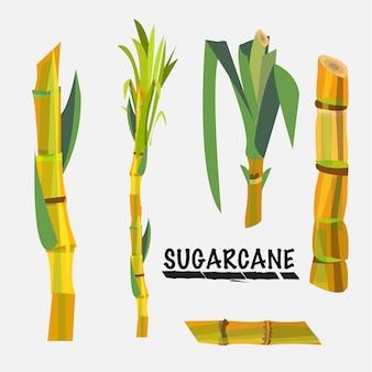 Cana de açúcar.