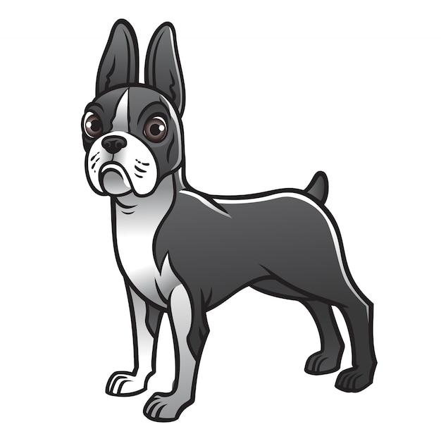 Cão bonito de boston terrier
