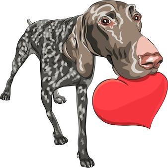 Cão curioso e sorridente, raça kurzhaar german shorthair pointer segurando um coração vermelho