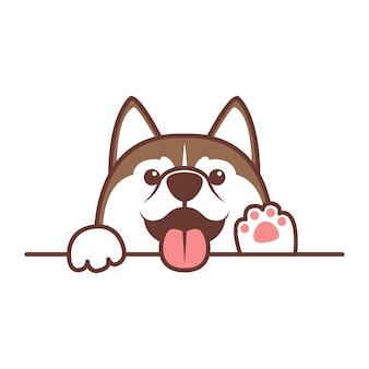 Cão husky siberiano marrom bonito, espreitar por cima do muro