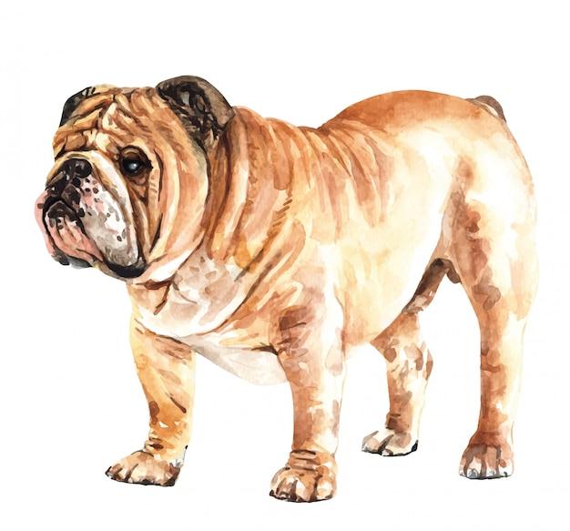 Cão tirado mão da aquarela do buldogue inglês.