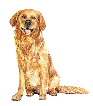 Cão tirado mão da aquarela do golden retriever.
