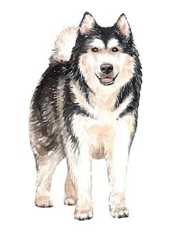 Cão tirado mão da aquarela do malamute do alasca.