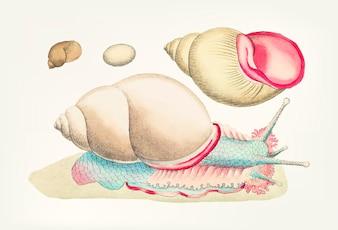Caracol de Rofe-labiada desenhada de mão