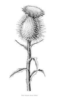 Cardo de leite planta botânica mão desenhar vintage isolado no fundo branco