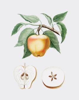 Carla, maçã, ilustração