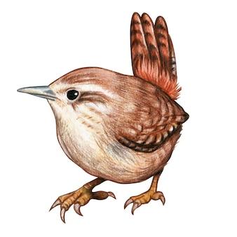 Carriça mão desenhada pássaro aquarela lápis de cor