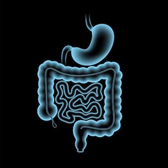 Cartaz anatômico do cólon e do estômago. intestino delgado e grosso no corpo humano