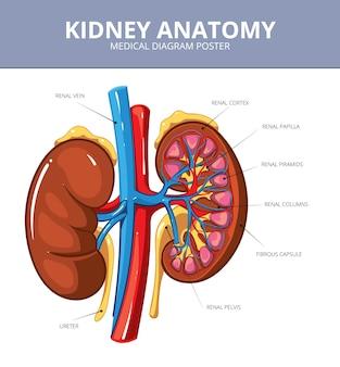 Cartaz de diagrama de vetor médico de rim. órgão interno, artéria e trato, vaso e ureter, ilustração do esquema