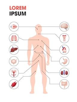 Cartaz de infográfico de estrutura de corpo humano com órgãos internos ícones anatomia sistema comprimento total cópia espaço vertical