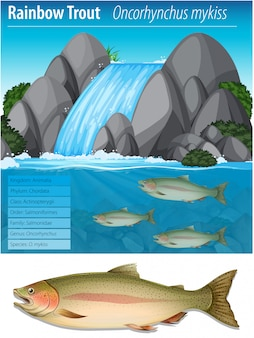 Cartaz de informação de truta arco-íris