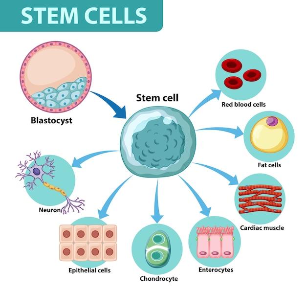 Cartaz de informações sobre células humanas