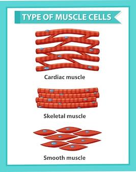 Cartaz de informações sobre células musculares