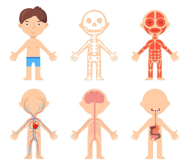 Cartaz educacional com menino e sistemas anatômicos de seu corpo. ilustração vetorial de desenho animado