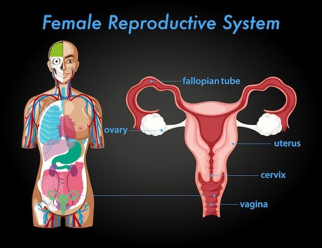 Cartaz informativo do sistema reprodutor feminino