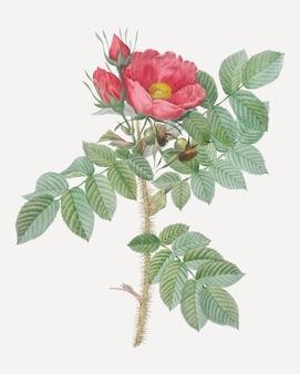Cartaz kamtschatka rosa vintage