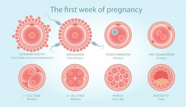 Cartaz médico sobre a divisão celular. etapas do desenvolvimento fetal.