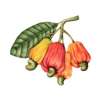 Castanha de caju desenhada mão e frutas