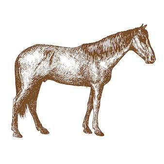 Cavalo gravura desenho ilustração animal