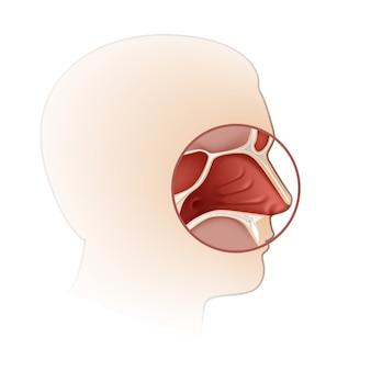Cavidade nasal humana com vista lateral da silhueta da cabeça isolada no fundo branco