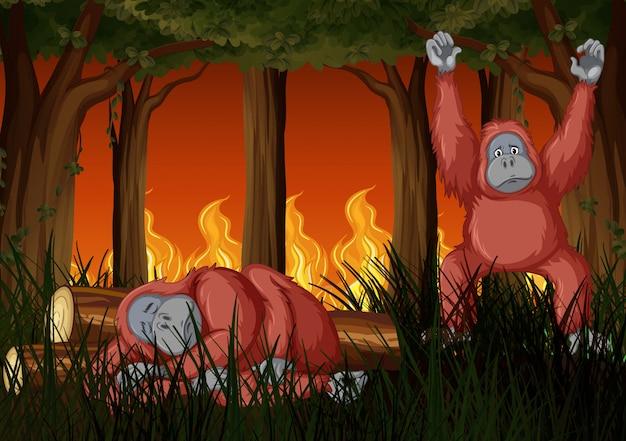 Cena com fogo selvagem e dois chimpanzés