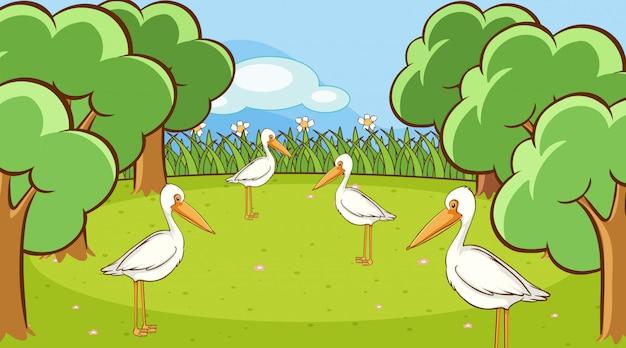 Cena com muitos pássaros de pelicano no parque