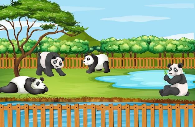 Cena com panda no zoológico
