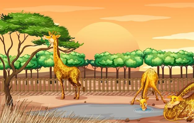 Cena com três girafas no zoológico