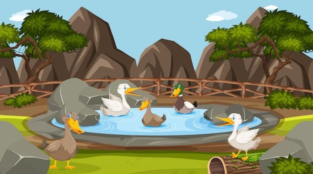 Cena do zoológico com muitos patos na lagoa
