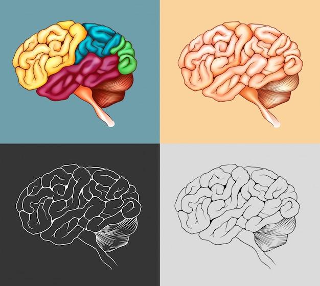 Cérebro humano em quatro projetos
