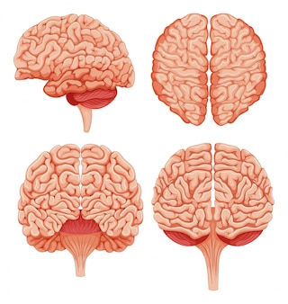 Cérebro humano na ilustração do fundo branco