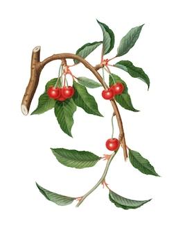 Cereja da ilustração de pomona italiana