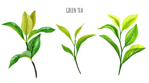 Chá verde ramos e folhas, aquarela desenhada de mão