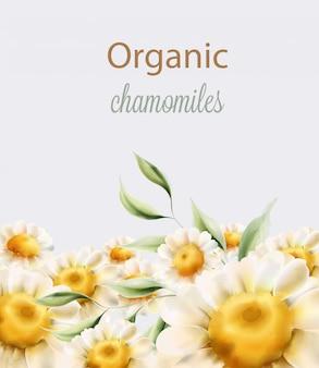 Chamomiles orgânicos flores com folhas verdes